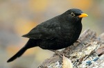 blackbirdbird