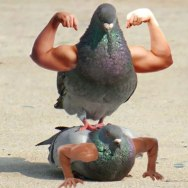 pigeon-with-arms